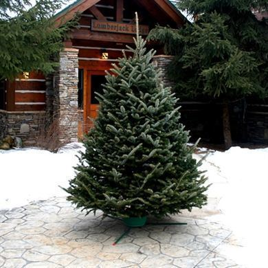 0000054_fresh-cut-fraser-fir-christmas-tree_390